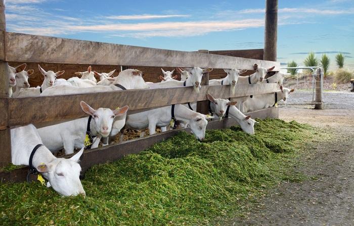 козы едят зеленое сено