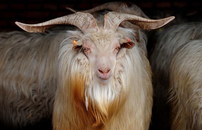 очень красивый козел