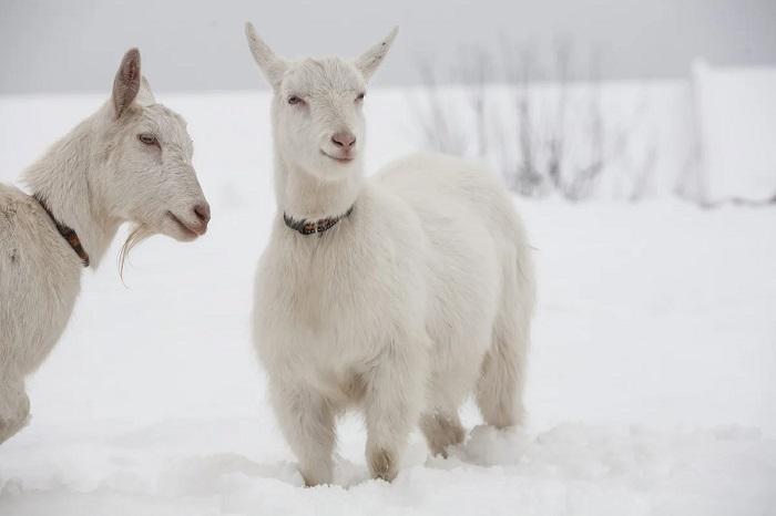 зимняя прогулка коз