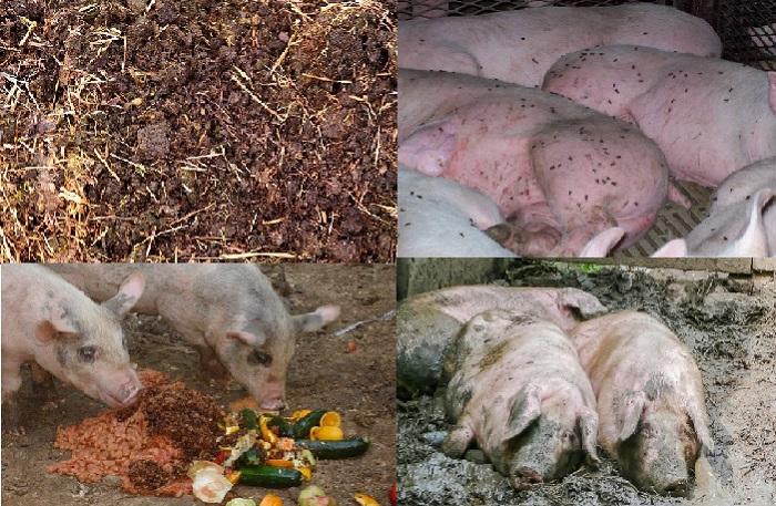 навоз, еда, мухи, зараженные свиньи