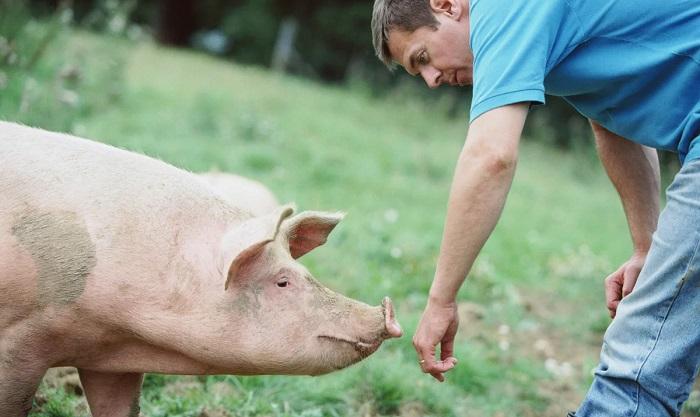 человек и свинья