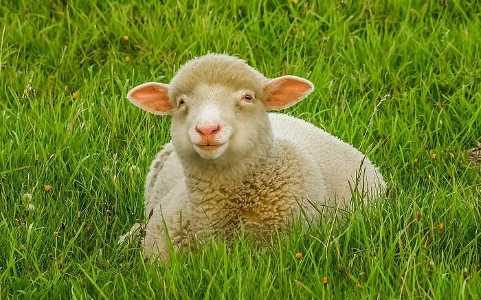 овечка лежит в траве