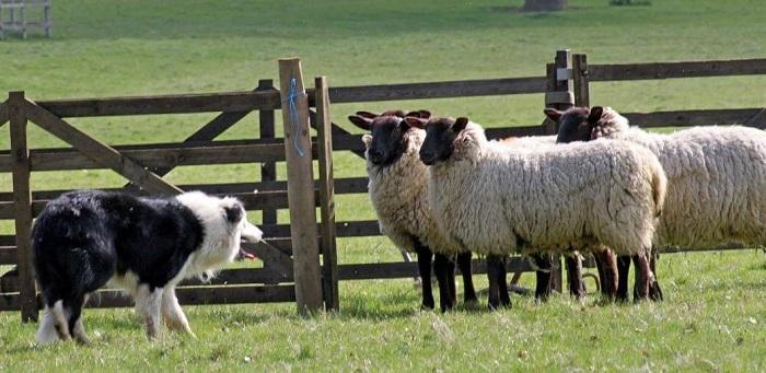 собака сторожит овец