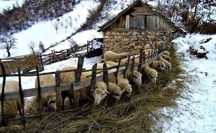 зимний загон овец