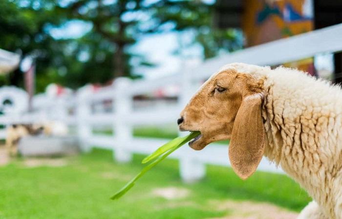 овечка ест ветку