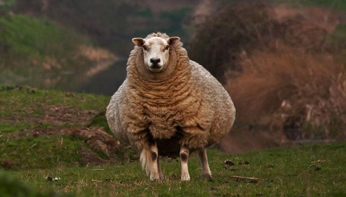 пузатая овца