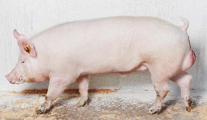 большой белый свин