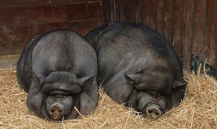 очень черные и жирные свиньи