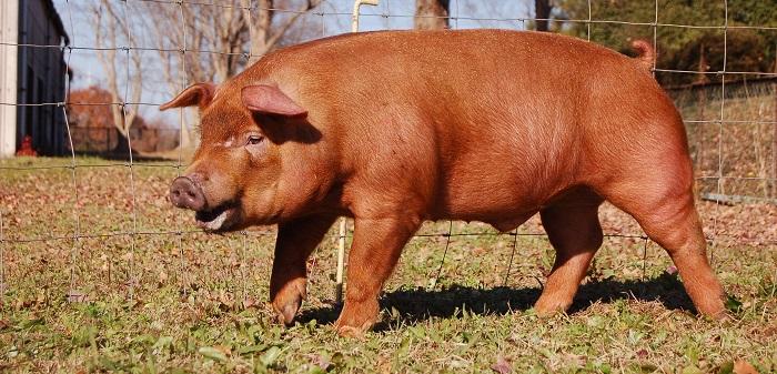 свинья в воротах