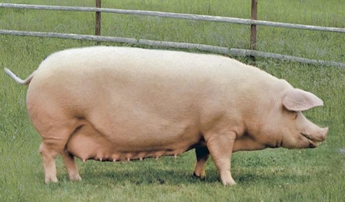 большая белая свинья