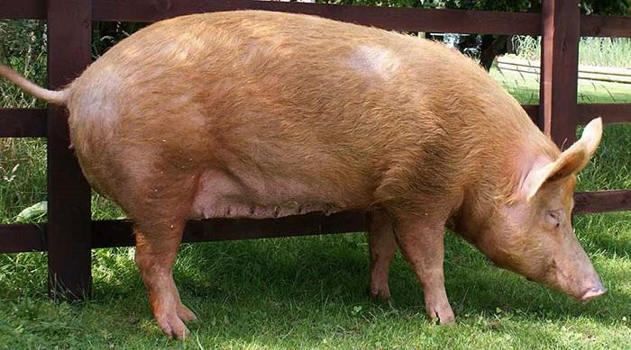 беконная коричневая свинья
