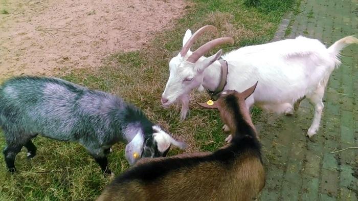 три козы охотятся