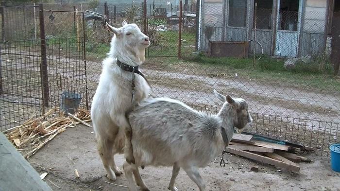соитие коз