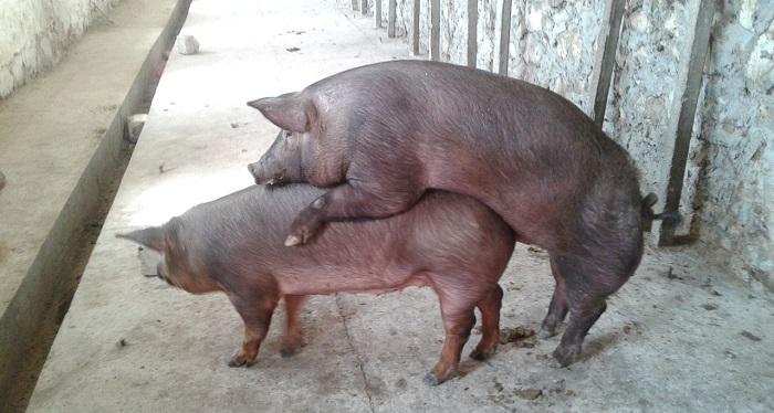 свинья одинаковой породы