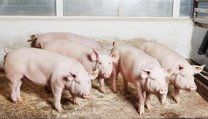 четыре свиньи в загоне