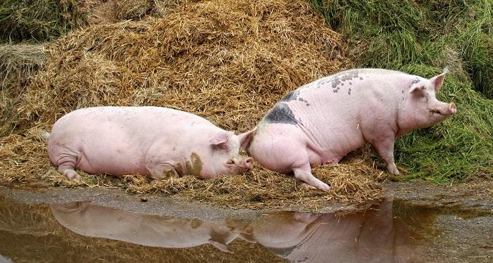 две свиньи в луже и сене