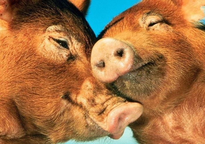 две свиньи нежатся