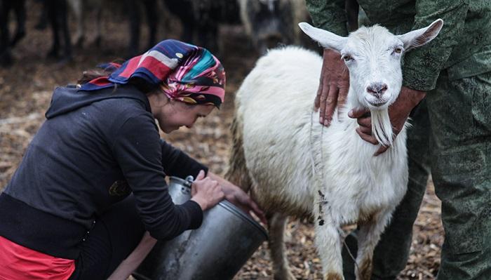 девушка доит козу