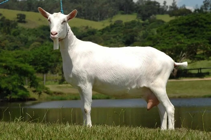 белая молочная коза на озере