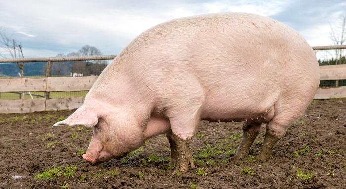 еще одна большая свинья
