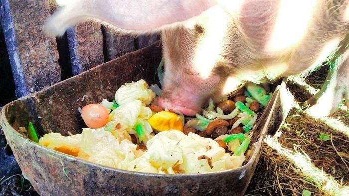 еда для свиньи