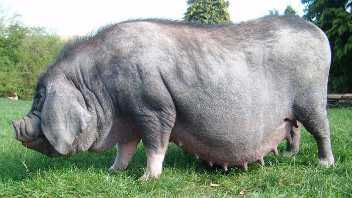огромная свинья