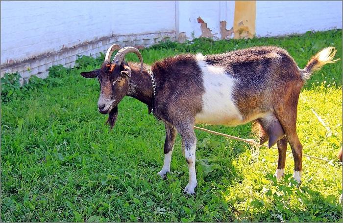беспородная коза