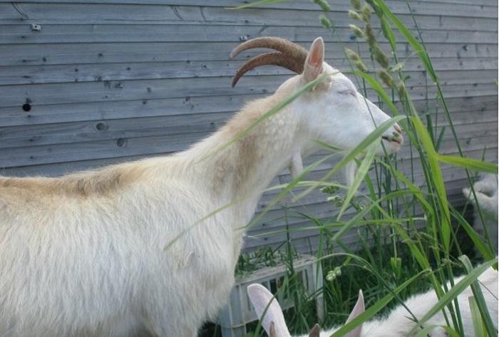 коза ест тонкую траву