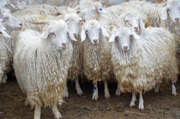 лохматые козы