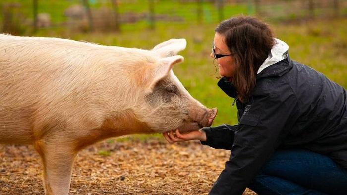 забота о свинье