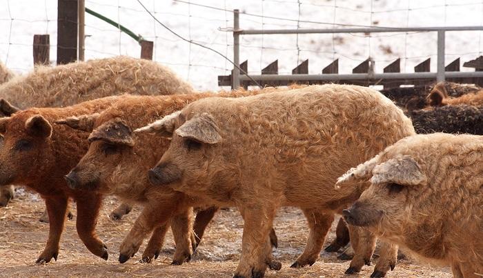 свиньи мангалицы
