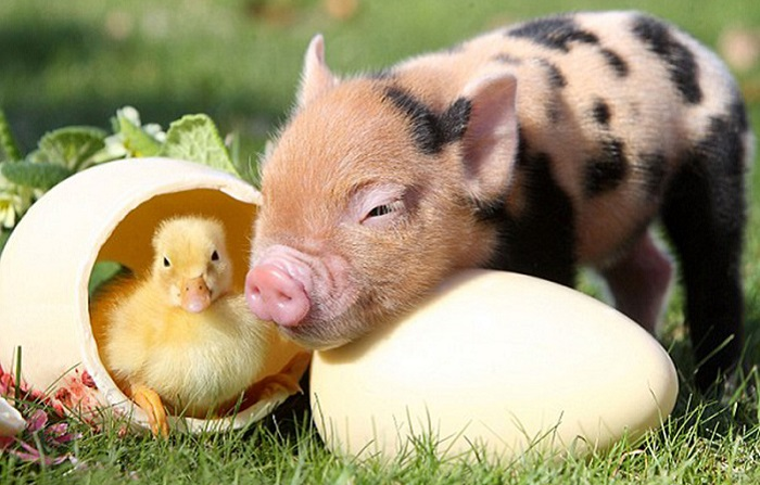 мини свинка и утенок