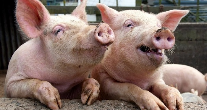 две счастливые свинки