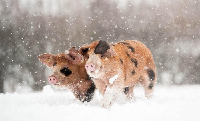 Два поросенка бегут по снегу