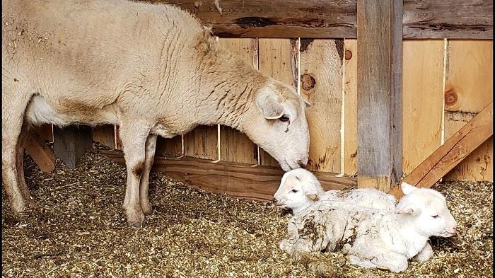 новорожденные ягнята