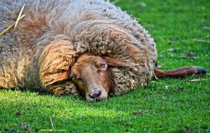 овца лежит больная