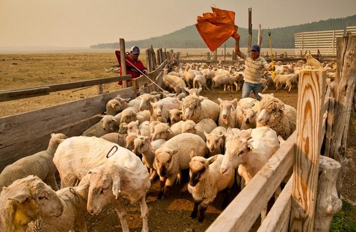 выгул овец