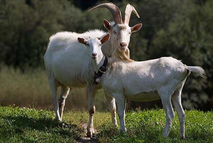 коза и козел