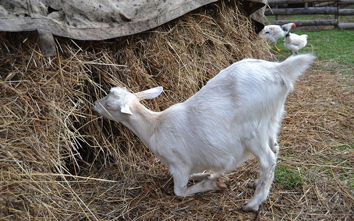 коза на коленях