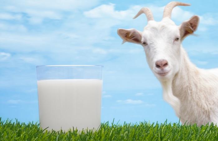 коза и стакан молока