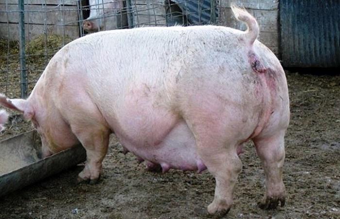 ест беременная свинка