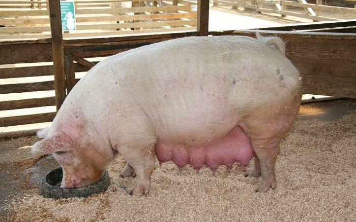 увеличенные молочные железы свиньи
