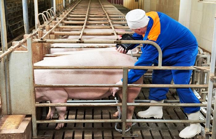 узи свиньи