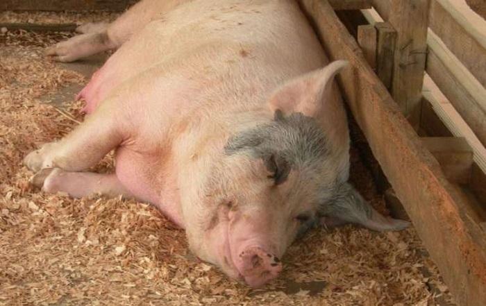 симулянтка свинья