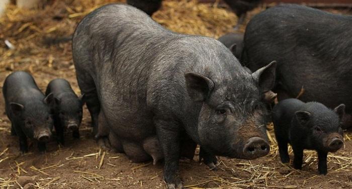 черная вислобрюхая свиноматка