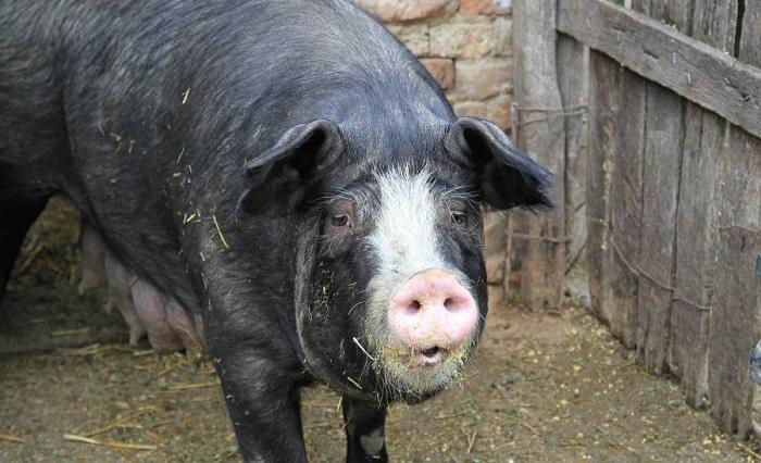 кемеровская черно-белая свинья