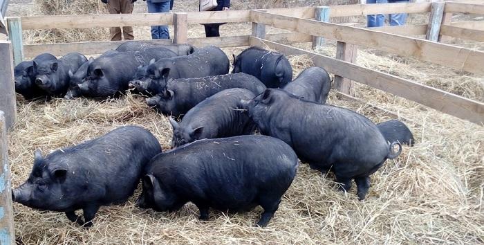много черных свиней едят
