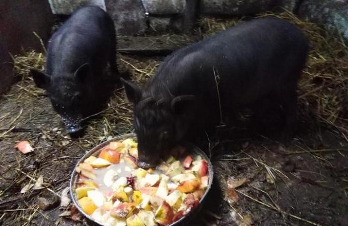 черные свинья едят