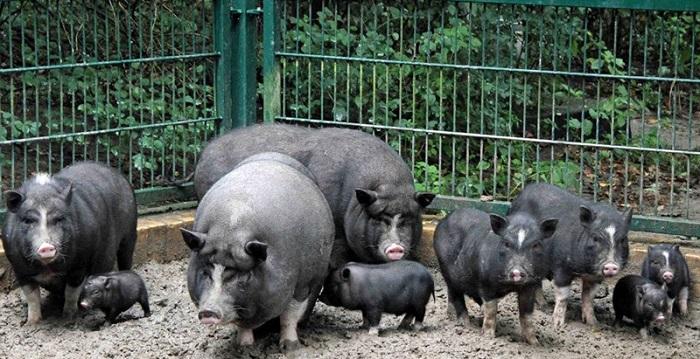 жилище черных свиней