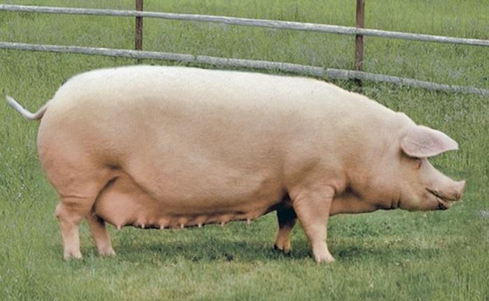 беременная свинка ландрас